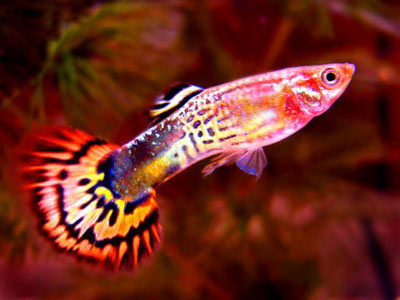 Difference Between Male and Female Guppy