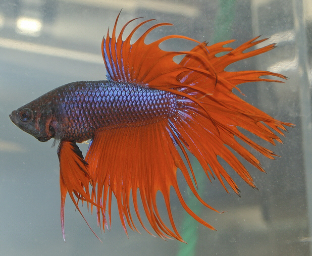 Cara Menjaga Ekor Ikan Cupang - [www.zootodays.blogspot.com]