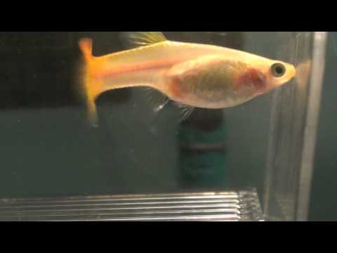 Pregnant Guppies and Their Gestation Period