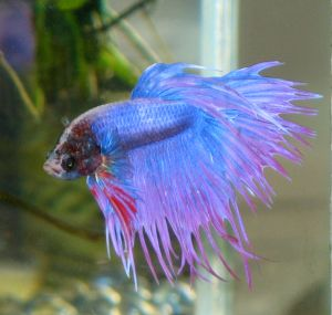Betta Fish Care Secrets