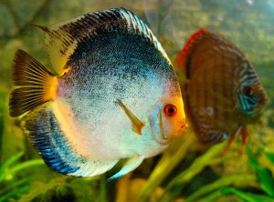 The Discus Fish Breeding Characteristics