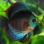 discus_fish_information